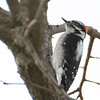Downy Woodpecker?