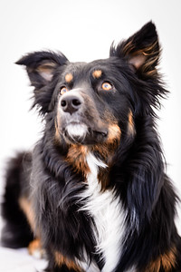 Odie (Black & Tan Aussie)-3-Edit