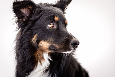 Odie (Black & Tan Aussie)-12-Edit