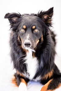 Odie (Black & Tan Aussie)-1-Edit