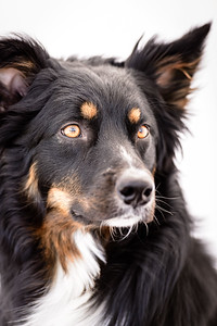 Odie (Black & Tan Aussie)-21-Edit