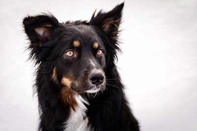 Odie (Black & Tan Aussie)-25-Edit