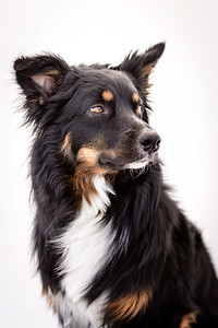 Odie (Black & Tan Aussie)-11-Edit