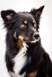 Odie (Black & Tan Aussie)-13-Edit