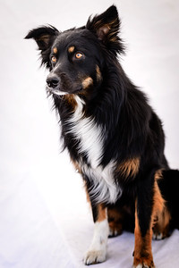 Odie (Black & Tan Aussie)-24-Edit