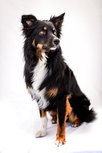 Odie (Black & Tan Aussie)-9-Edit