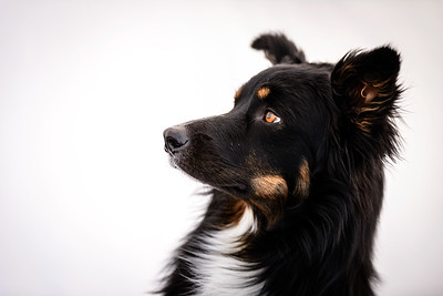 Odie (Black & Tan Aussie)-16-Edit