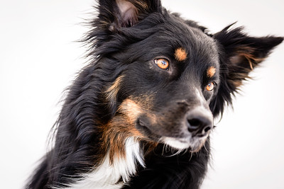 Odie (Black & Tan Aussie)-15-Edit