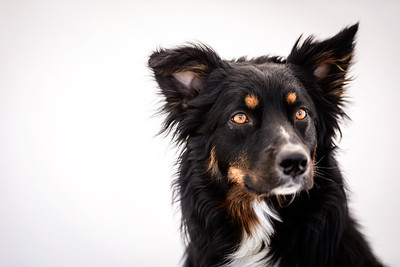 Odie (Black & Tan Aussie)-14-Edit
