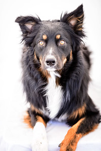 Odie (Black & Tan Aussie)-2-Edit