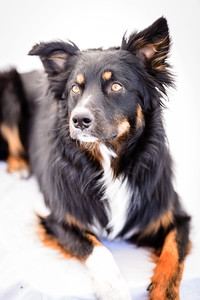 Odie (Black & Tan Aussie)-4-Edit