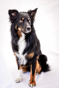 Odie (Black & Tan Aussie)-26-Edit