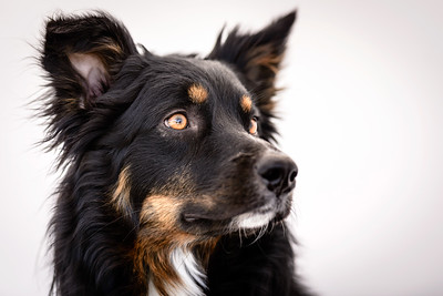 Odie (Black & Tan Aussie)-17-Edit