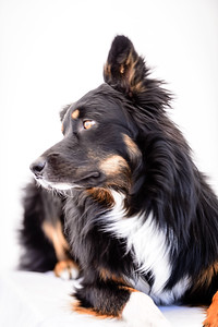 Odie (Black & Tan Aussie)-5-Edit-2