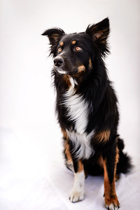 Odie (Black & Tan Aussie)-6-Edit
