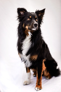 Odie (Black & Tan Aussie)-8-Edit