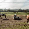 Odiham Deer Park, with horses grazing