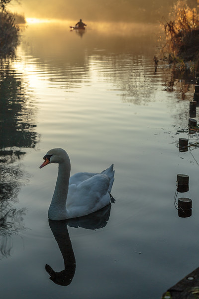 Swan and canoe on Basingstoke Canal