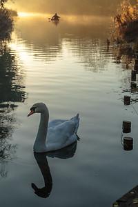 Swan and canoe on Basingstoke Canal