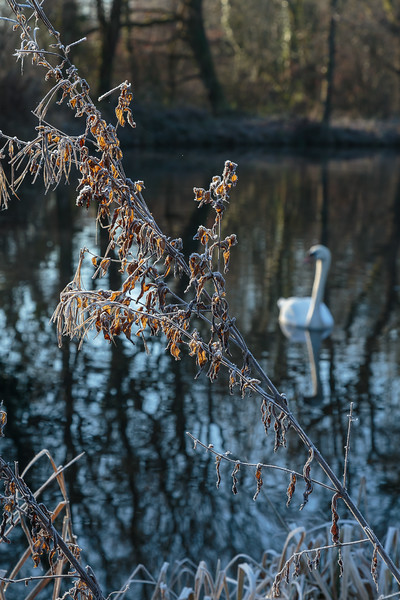 Frosty scene with swan, Basingstoke Canal