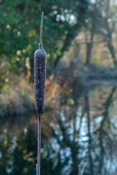 Single frosty bullrush, Basingstoke Canal