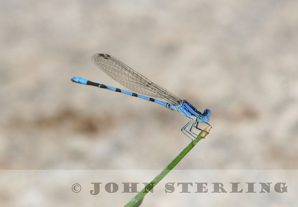 Sterling's Arizona Dragonflies