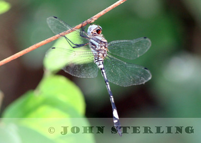 Pale-faced Clubtail