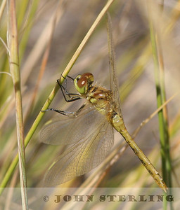 Black Meadowhawk female