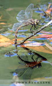 Blue-eyed Darner female ovipositing