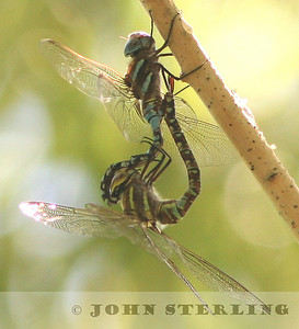 Blue-eyed Darner mating