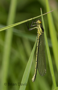 Red-Eyed Damselfly 2