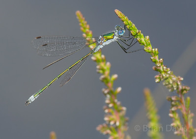 Emerald Damselfly 2
