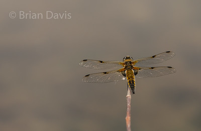 Four spotted Chaser 4