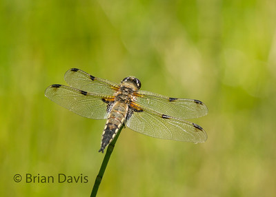 Four Spotted Chaser 3