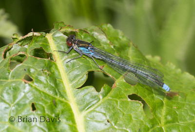 Red Eyed Damselfly 3