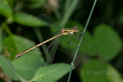 Emerald Damselfly 4