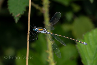 Emerald Damselfly 5