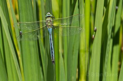 Emperor Dragonfly 4