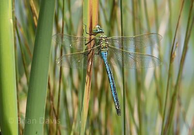 Emperor Dragonfly 3