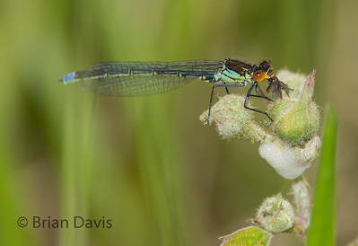 Red Eyed Damselfly 4