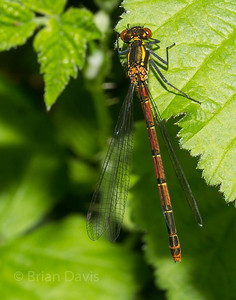 Large Red Damselfly 2