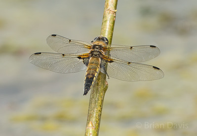 Four Spotted Chaser 1