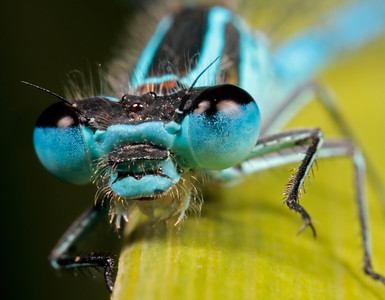 Common Blue Damselfly (Enallagma cyathigerum ), made with magnification 3 and f/14.