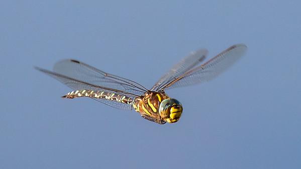 Aeshna juncea, Moorland Hawker, Sivmosaikguldsmed, male