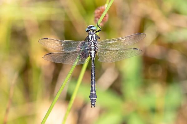 Almindelig flodguldsmed, Common Clubtail, Gomphus vulgatissimus, male