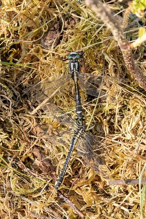 Almindelig flodguldsmed, Common Clubtail, Gomphus vulgatissimus, male and female
