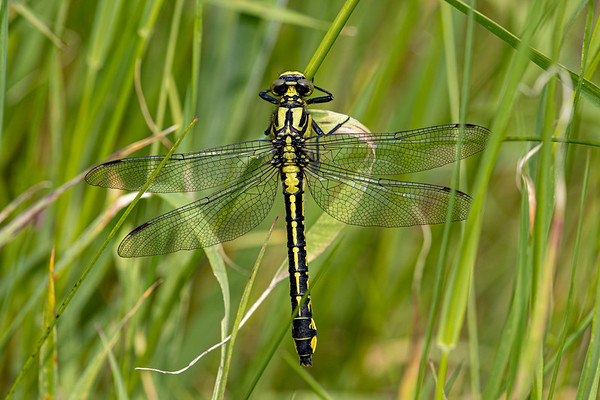 Almindelig flodguldsmed, Common Clubtail, Gomphus vulgatissimus, female