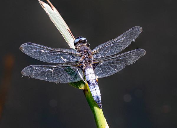 Blue Chaser, Libellula fulva, Spidsplettet libel, male