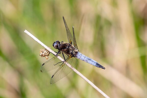Spidsplettet libel, Libellula fulva, Blue Chaser, male
