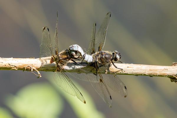 Blue Chaser, Libellula fulva, Spidsplettet libel, male and female
